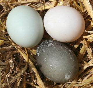 Duck Egg Color Genetics Etc Ducks And Geese Forum At Permies
