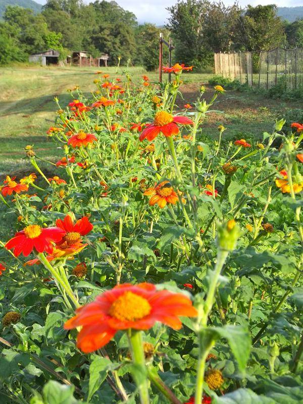 Mexican Sunflower Honia Diversifolia Plants Forum At
