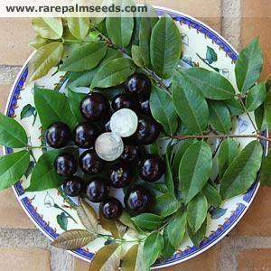 Brazilian Grape Tree Fruit Grows On The Bark Trees