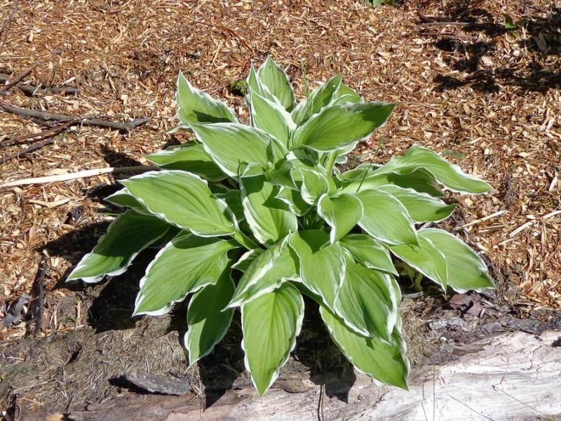 Planting To Shade Out Grass Hosta Comfrey Permanent Living
