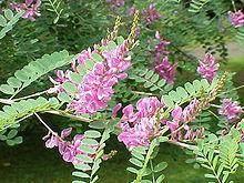 true indigo plant