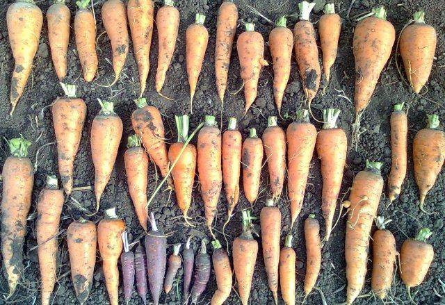 land-race carrots