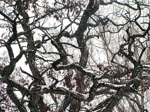 black locust tree branches