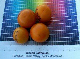 Growing seeds from hybrid tomatoes[