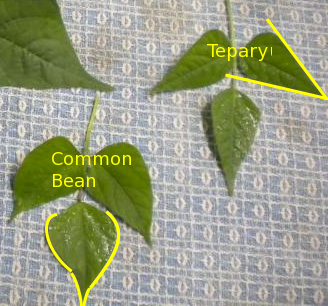 comparing tepary bean leafs to common bean leafs