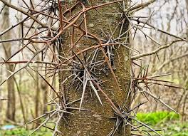 [Thumbnail for honey-locust-thorn.jpeg]