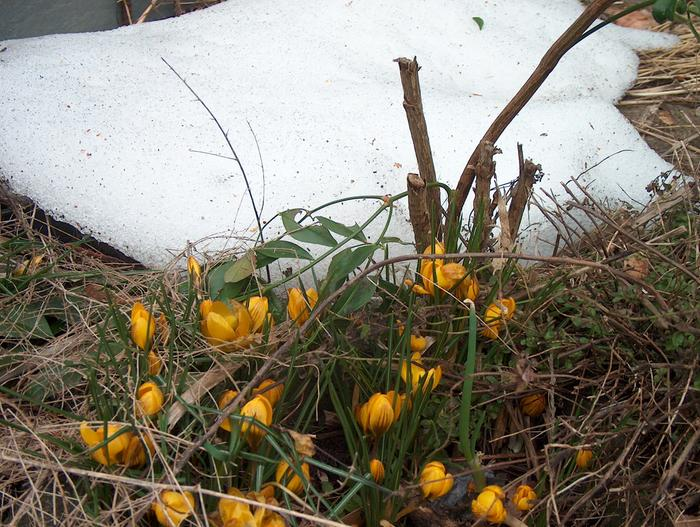 [Thumbnail for crocuses-coping-with-snow.JPG]