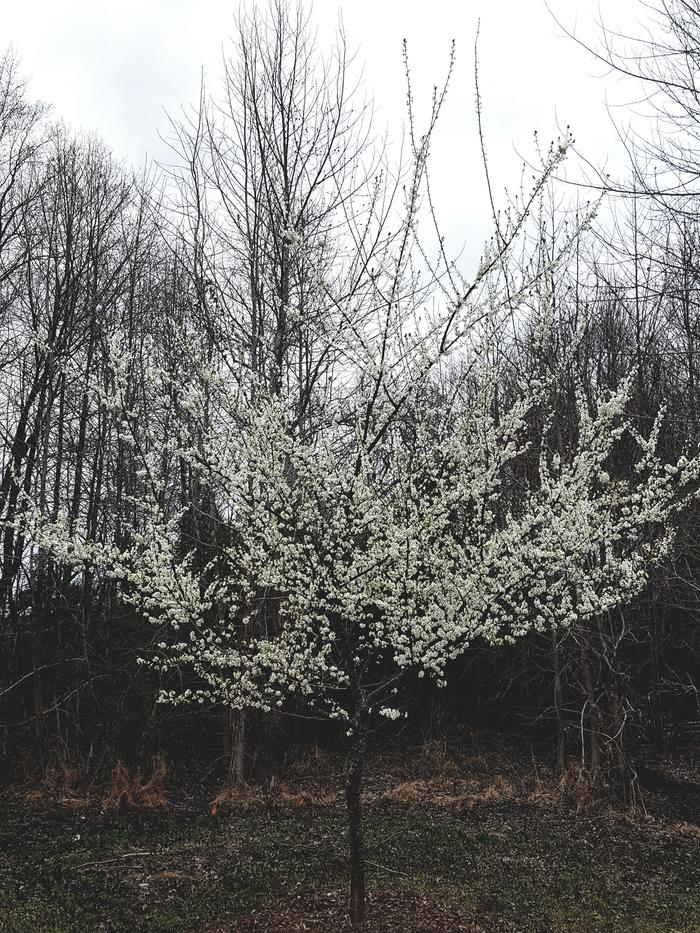 Plum tree filled with white blossoms