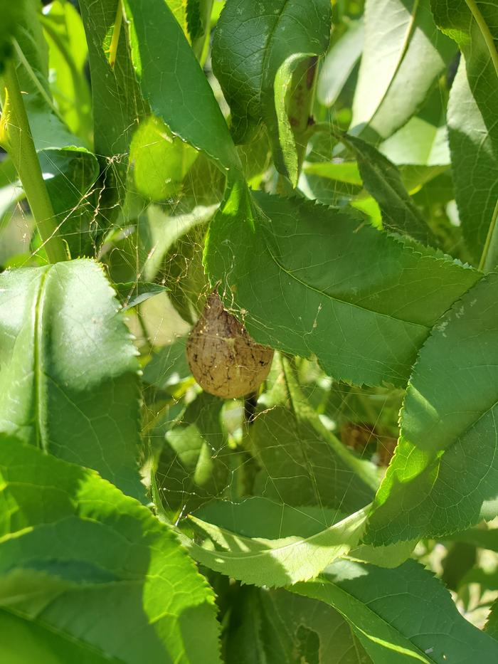 Spider egg sac in unpruned peach tree