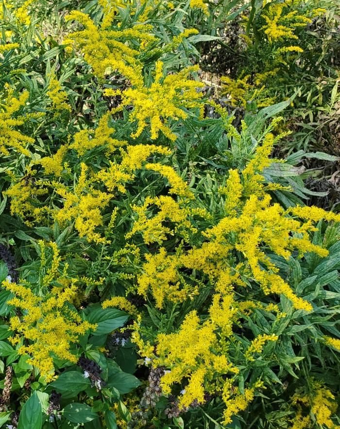 Goldenrod blossoms in early fall
