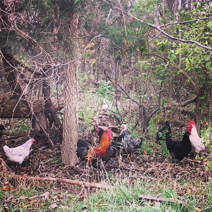chickens feeding in forest