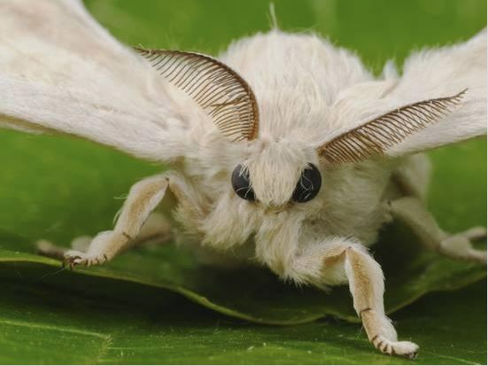 [Thumbnail for silkmoth.JPG]