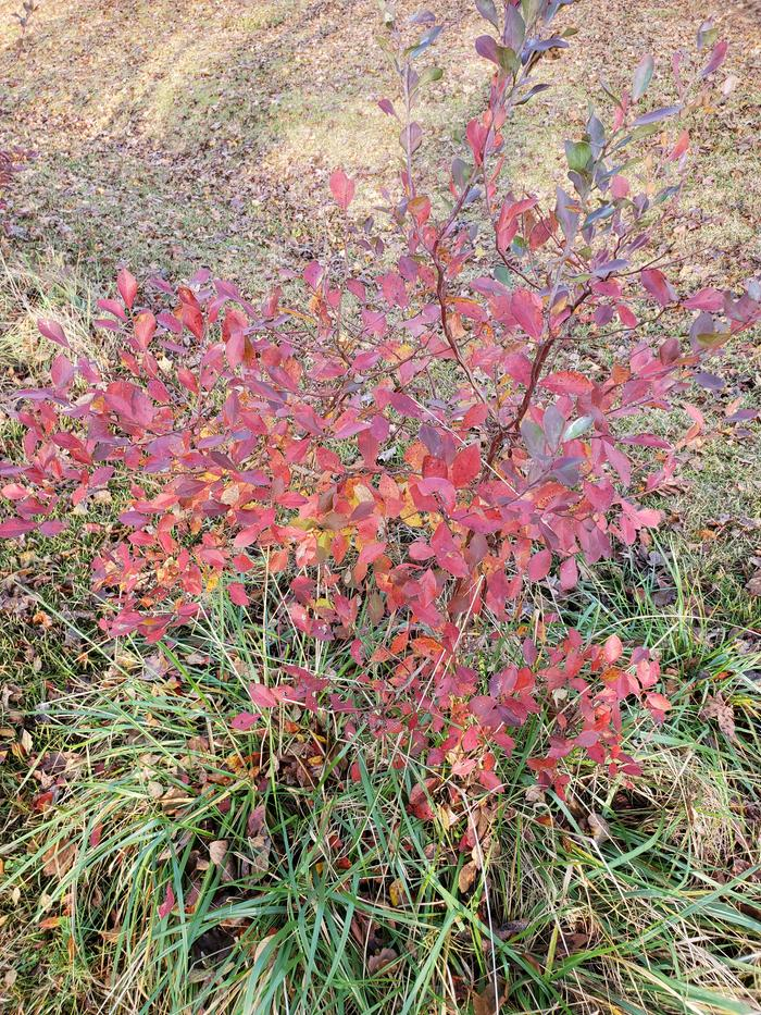 Red blueberry bush 1