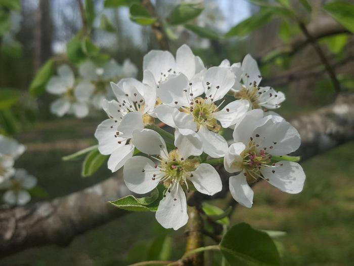 Cluster of pear blossoms