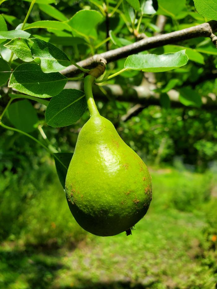 Growing Pear Trees With Natural Plant Nursery Fruit Trees