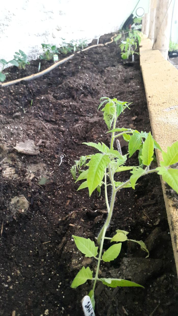 More pictures of tomatoes in the planting bed. I'm hoping they will fruit abundantly.