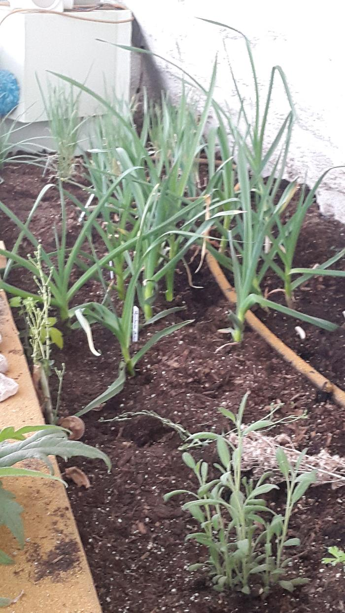 The garlic and shallots are really growing well.