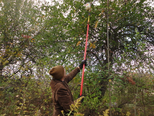 Here is a shot of me picking the apples with a picker I just made. Hopefully you can see that these are not orchard trees. They are along an old rail line trail.