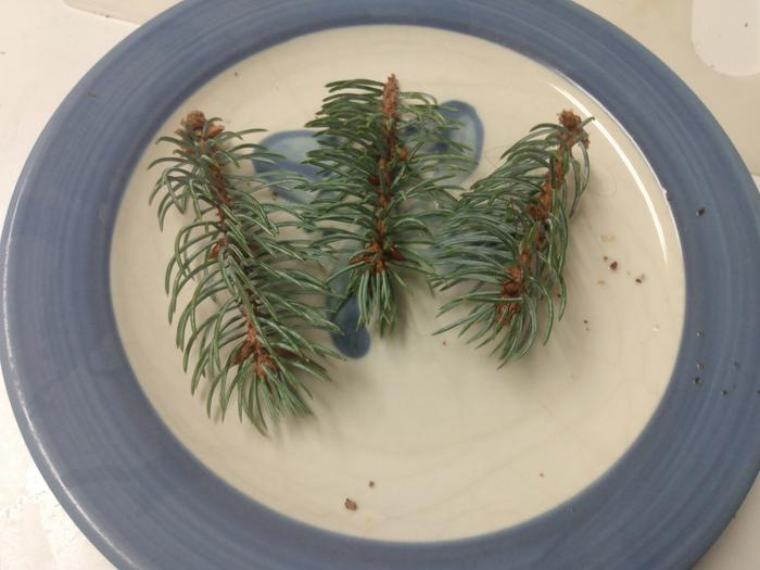 blue spruce tips