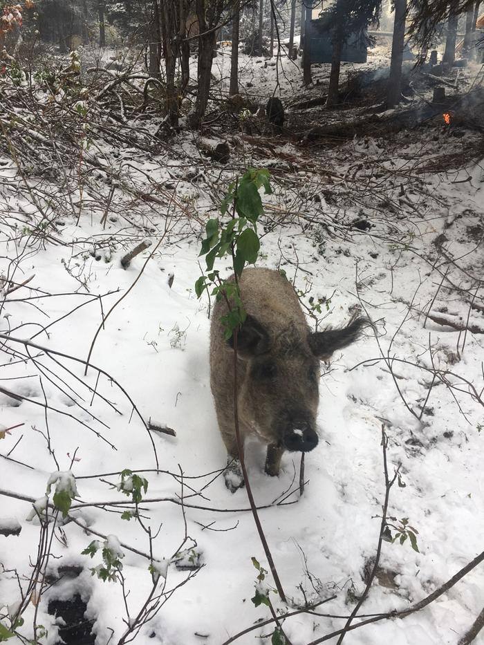 Mangalitsa sow in the first snow