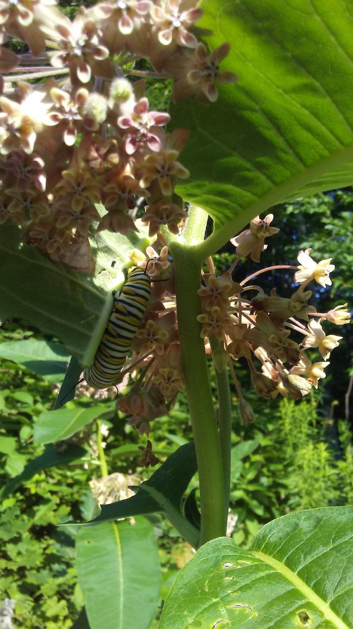 [Thumbnail for 2019-monarchs-in-the-milkweed.jpg]