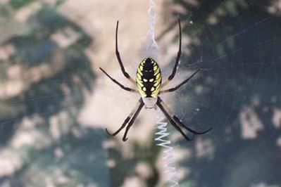 [Thumbnail for Argiope.jpg]