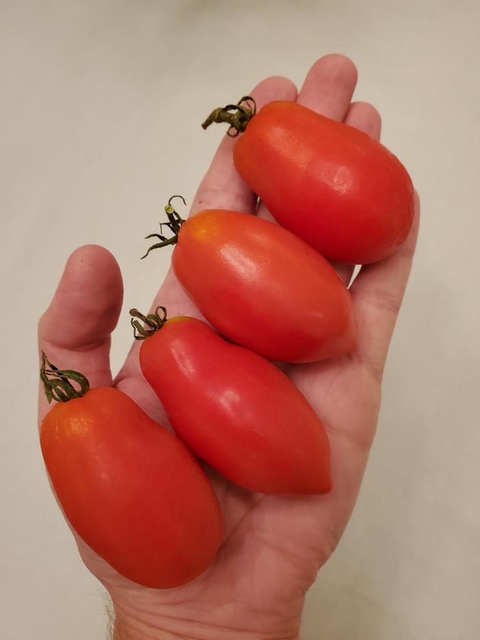 Four red paste tomatoes