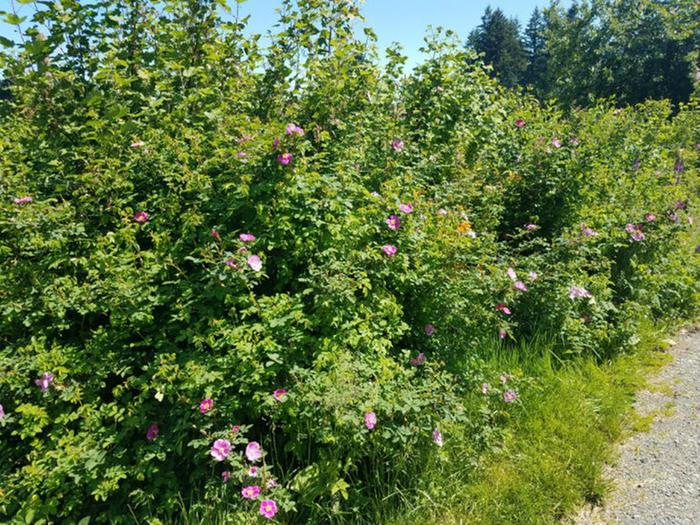 Nootka roses starting to bloom (pink flowers). The bees and bumblebees love them!