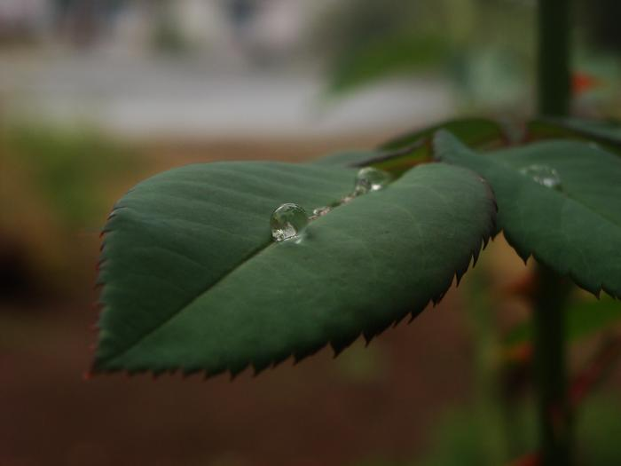 [Thumbnail for Water_Drop_on_rose_leaf.jpg]