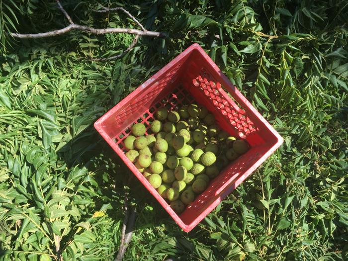 harvested black walnuts