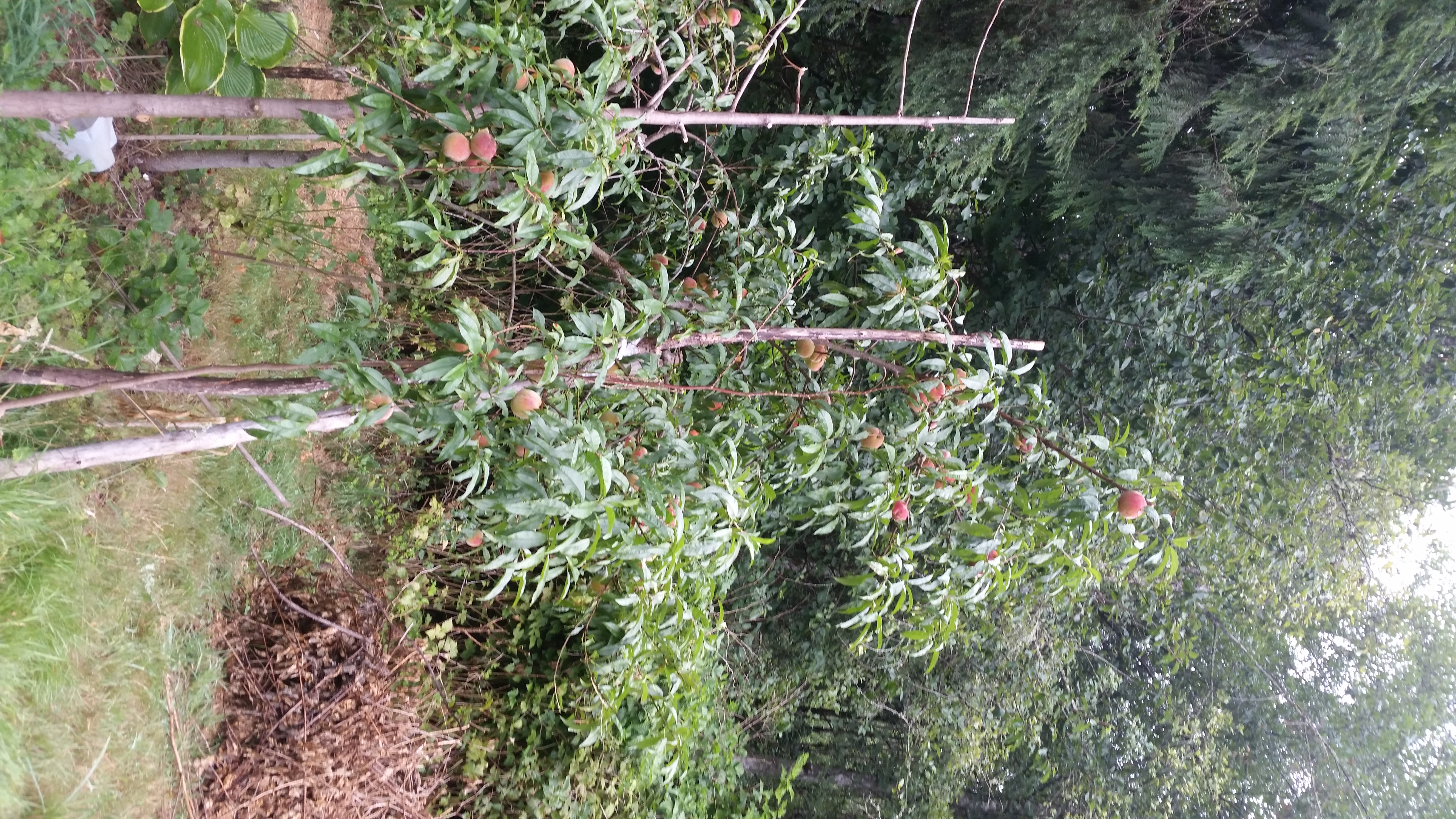 Big branch of my peach tree broke off  Any way to save the
