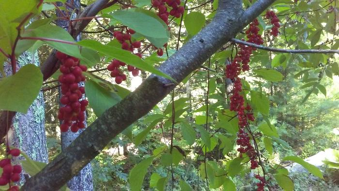 Schisandra draped over an autumn olive