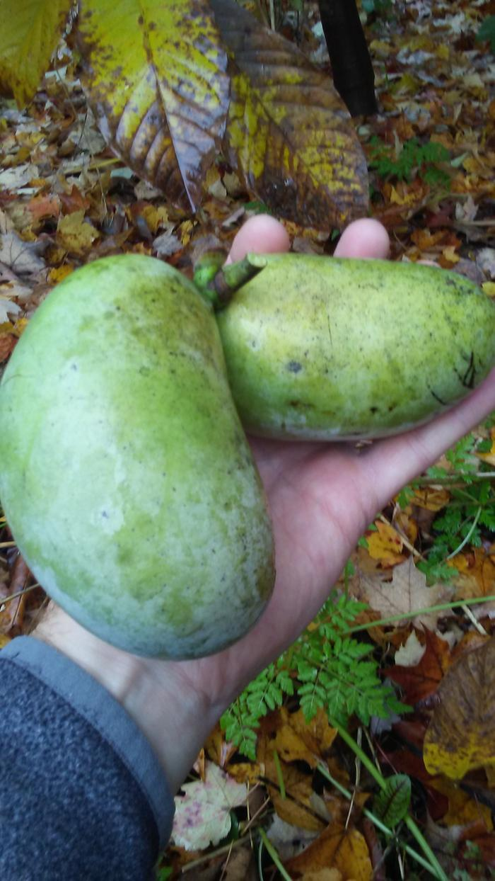 'NC-1' pawpaws that set for me for the first time