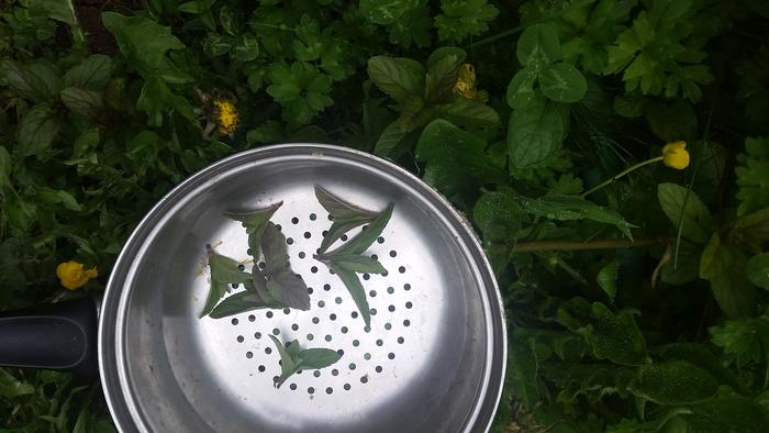 Mint picked and placed in colander, set on the mint patch