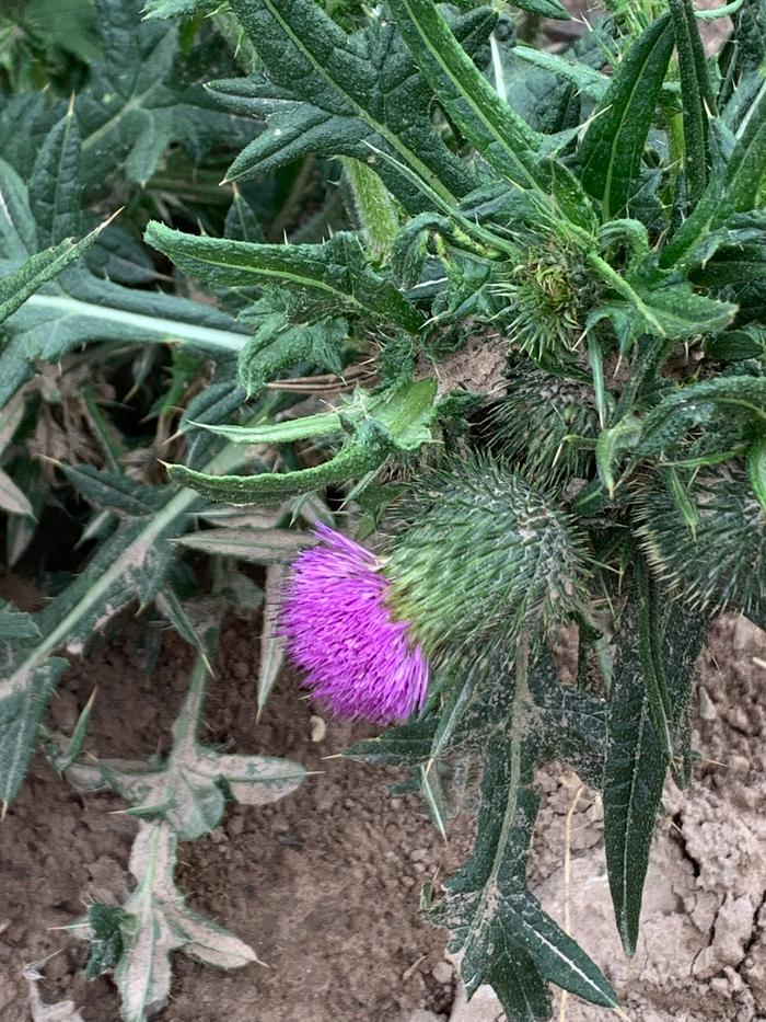 Thistle by the wofati