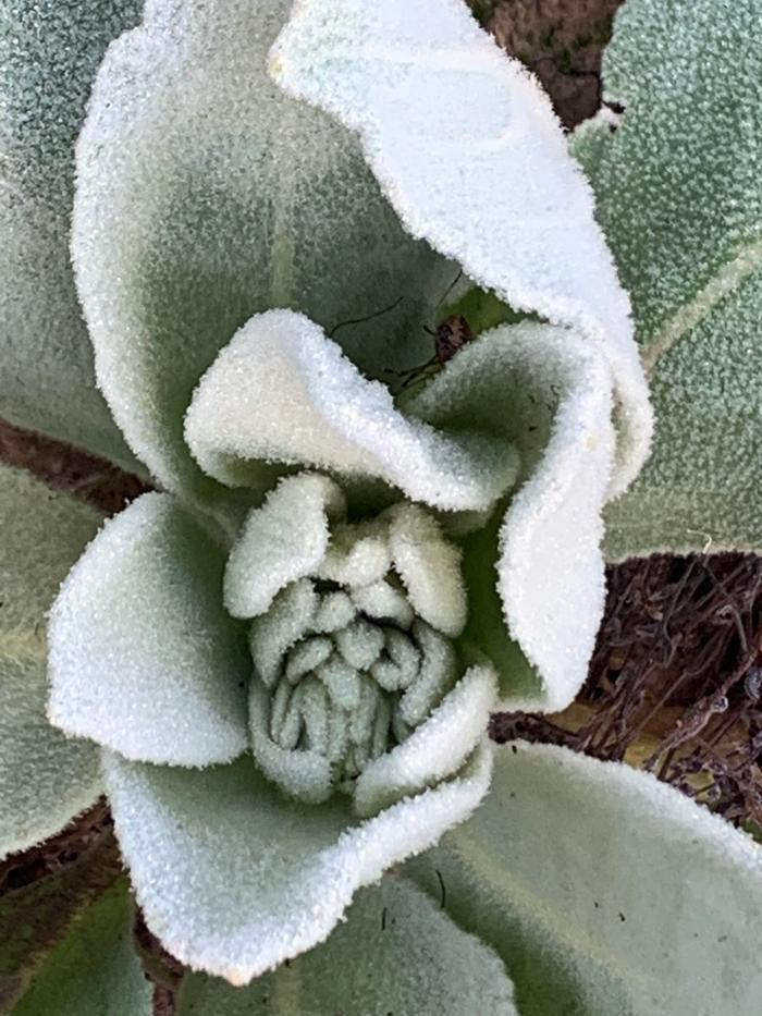 Mullein is so fuzzy