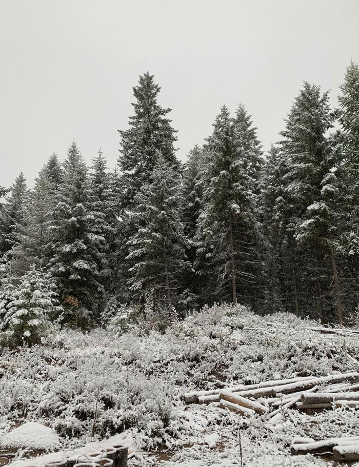 snow in montana logs conifers