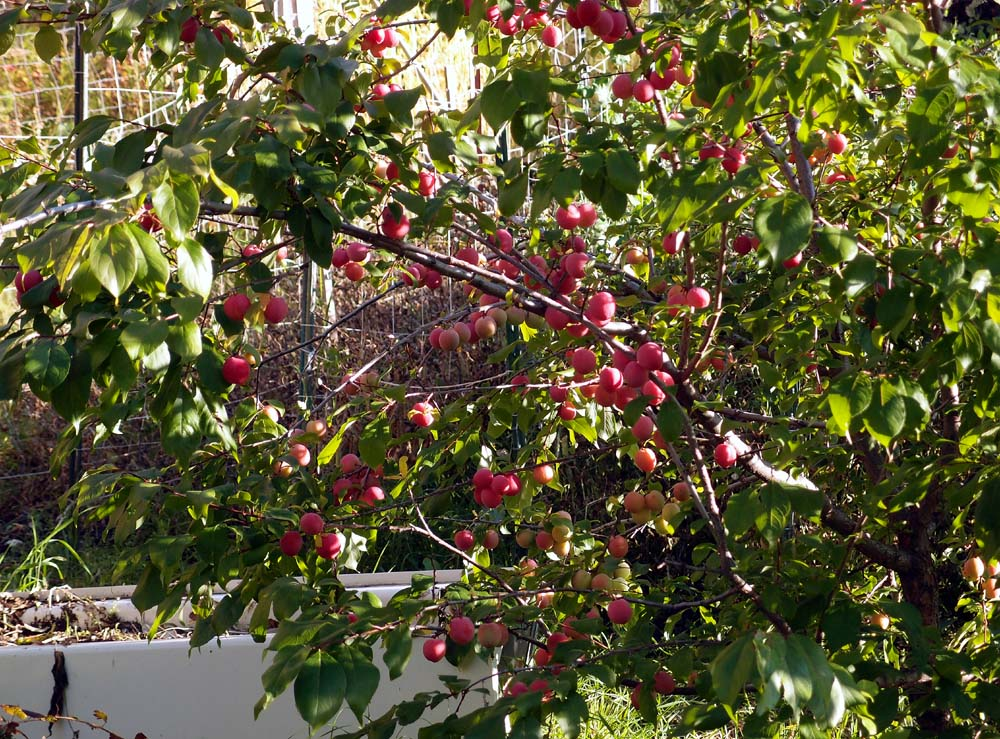 Are American OR Black (Canadian) plum trees self ...