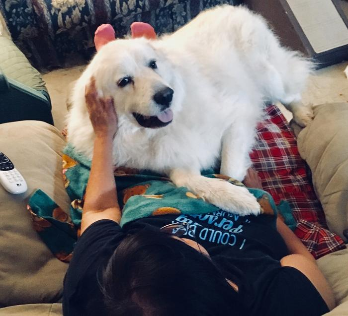 Nanook is lap dog