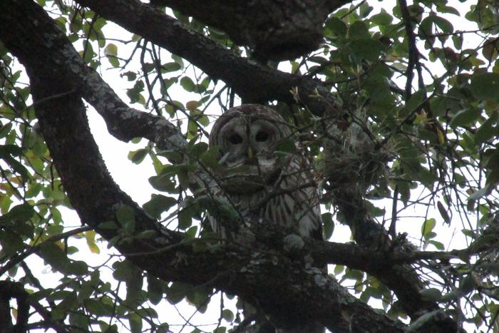 [Thumbnail for Barred-owl.jpg]