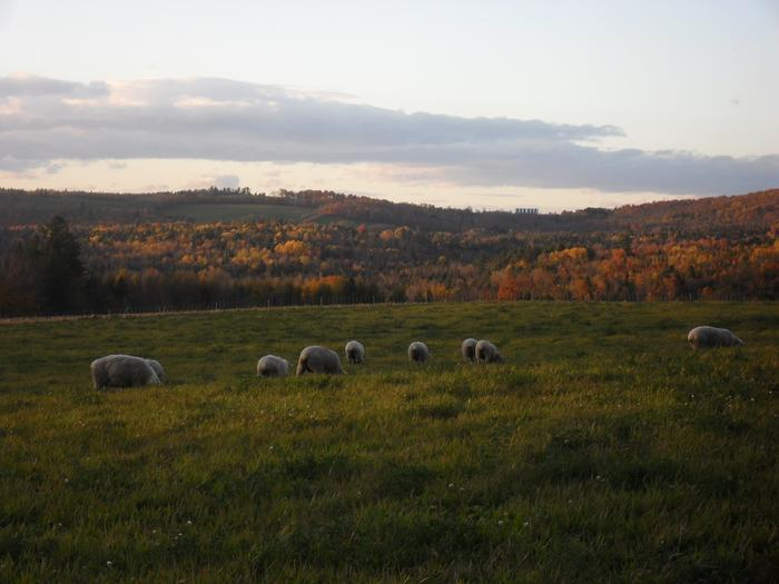 [Thumbnail for Sheep-Grazing-in-Fall.JPG]