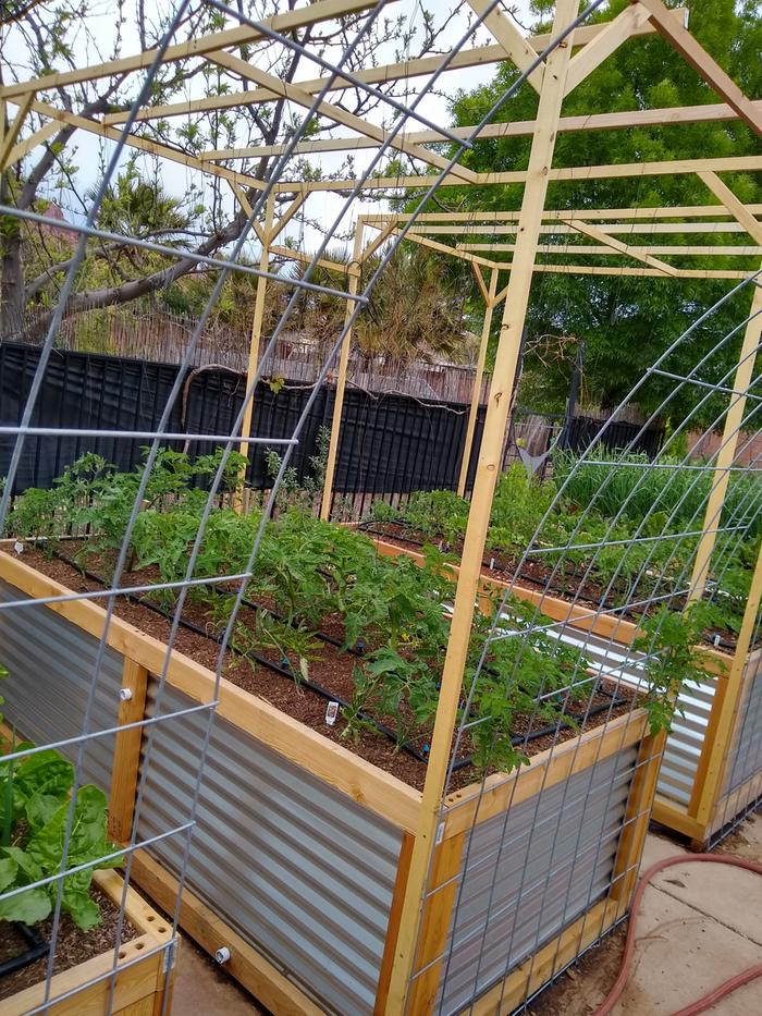 Lower and lean trellis for tomatoes.