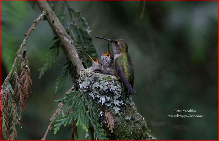 [Thumbnail for 2020-Rufous-Hummingbirds-beside-house.JPG]