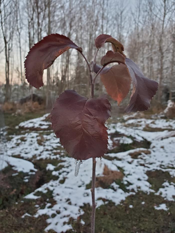 Red apple leaves still hanging on in late winter