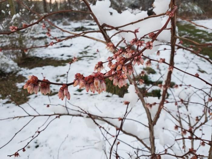Cluster of blueberry flowers after a snow