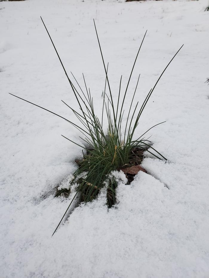 Tuft of growth sticking out of the snow