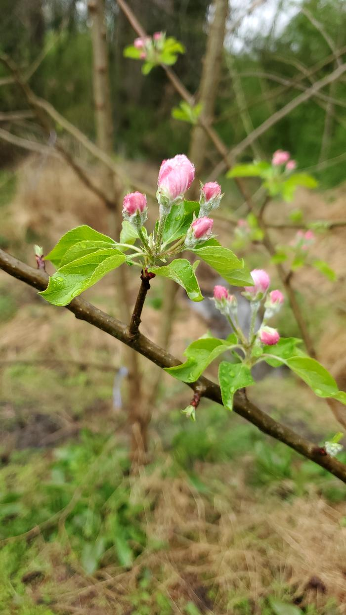 pink apple blossoms about to open