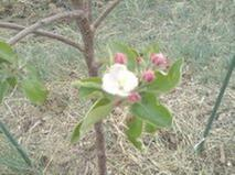here are some blossoms showing up on my yellow delicious tree the first year pretty much (got em last fall)