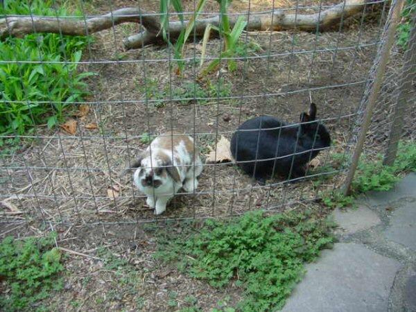 Pastured Rabbits: experiences, ideas? (rabbits forum at permies)