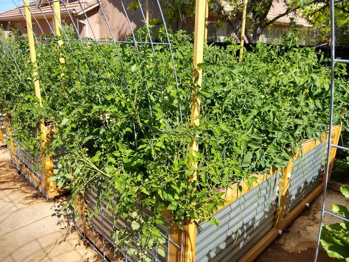 I'm going to regret this, but 32 tomato plants in 32 sq.ft. I'm single stemming them up bailing wire. Lots of fruit set.